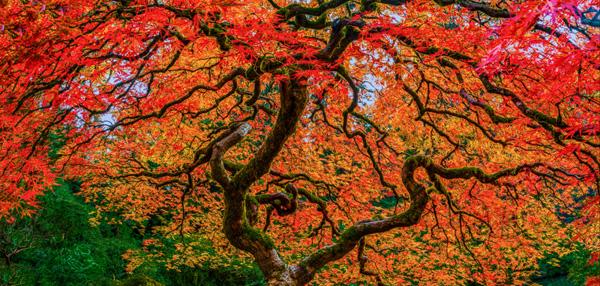 Japanes_Maple_Panorama1.jpg